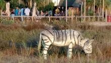 Zebra görünümlü eşeklerle safari temalı düğüne soruşturma