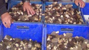 Kuzugöbeği mantarının yaşı 100, kurusu 600 lira