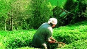 Yeşil vadide hasat zamanı