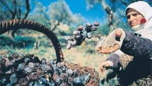 Ege, zeytinyağı kokuyor