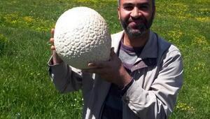 Futbol topu büyüklüğündeki mantar şaşırttı