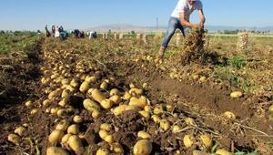 Sandıklıda patates ekim alanı yüzde 40 azaldı