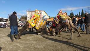 Gömeçte yılın son günü deve güreşi heyecanı yaşandı