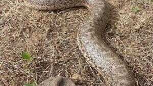 Mutkide boa yılanı görüntülendi
