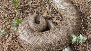 Burası Türkiye Dev yılan böyle görüntülendi