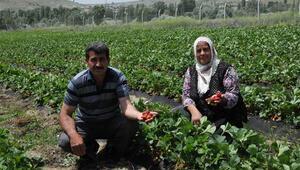 Patatesi bıraktı, günde 1500 lira kazanıyor