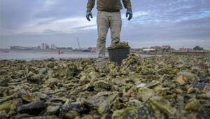 Kuzey Denizindeki istiridye ve diğer canlılar 3D yazıcı ile kurtarılacak
