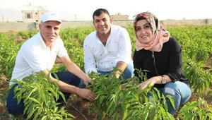 Cudi Dağı eteklerinde patlıcan ve biber yetiştirdiler