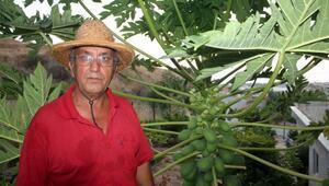 Gazipaşalı mangonun tanesi 8 liraya alıcı buluyor