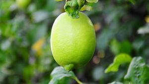 Limonun ateşini yapılacak hasat düşürecek