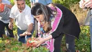 Sarıeroğlu, elma hasadı yaptı