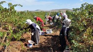 İhraç edilen şaraplık üzümlerin hasadına başlandı
