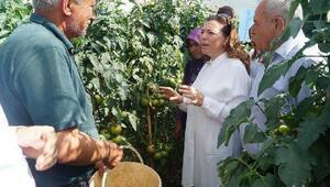 Silifkede domates hasat günü