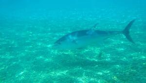 Konyaaltı sahilinde orkinos ve aslan balığı görüntülendi