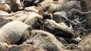 Çiftlikte aç kalan 150 keçi telef oldu
