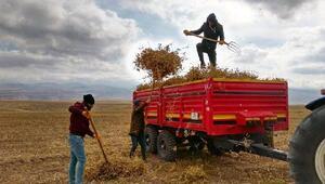 Başkalede aspir hasadına başlandı