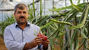 Domates ve biberden para kazanamayınca ejder meyvesi işine girdi