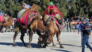 Didimde deve güreşi heyecanı
