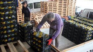 Gazipaşadan avokado ihracatı başladı
