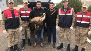 Jandarmanın yaralı halde bulduğu kızıl akbaba, tedaviye alındı