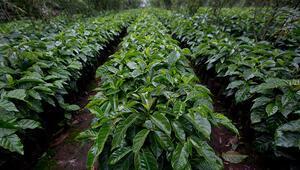 Kahve bitkisi yok olma tehdidi altında