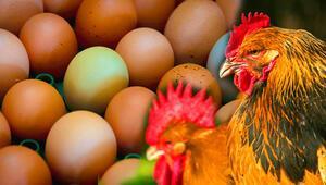 Kanser ilaçları yumurtlayan tavuk yetiştirildi