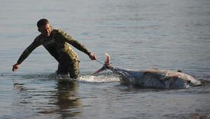 Her biri dev gibi… Marmara'da kıyıya vurdular