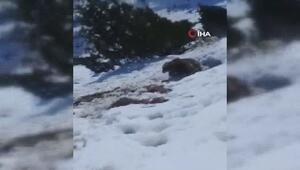 Anne ayıyı rahatsız eden çobanlar canlarından oluyordu
