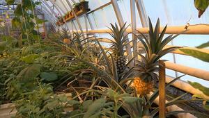 Rusyanın dondurucu soğuğunda ananas yetiştirdiler