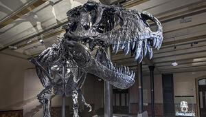 Kanadada dünyanın en büyük ve en yaşlı T-rex fosili bulundu