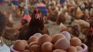 Tavuk yumurtası üretimi Şubatta 1.6 milyar adete çıktı