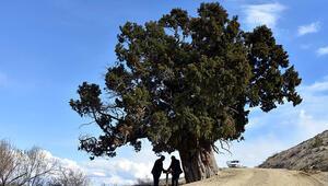 Güründe 703 yıllık anıt ağaç
