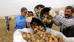 Patatesin fiyatı hasatla düştü
