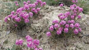 Ayaş'ın endemik bitkileri 'gen bahçesi'yle korunacak