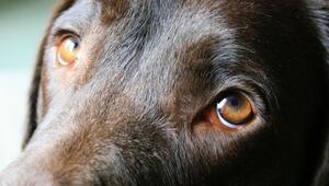 Köpeklerin üzgün bakışlarının sebebi belli oldu