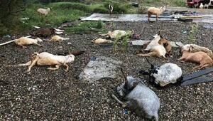 Kastamonuda yıldırım isabet eden koyun ve keçiler öldü