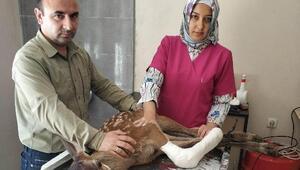 Yaralı yavru geyik tedavi altına alındı