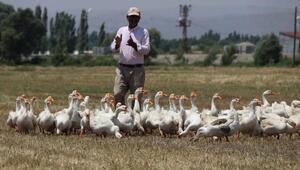 Genç Çiftçi desteği ile kurduğu çiftlikte yılda 2 bin kaz yetiştiriyor