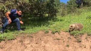 Boz ayı yavrusu yola indi