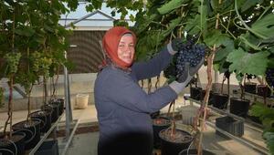 Manisada topraksız üretilen sofralık üzümde ilk hasat yapıldı