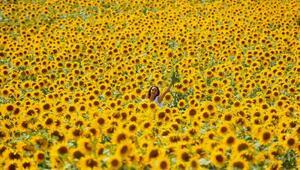 Doğal fotoğraf stüdyosu; ayçiçeği tarlaları
