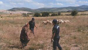 Kayıp koyunlar tarlada bulundu