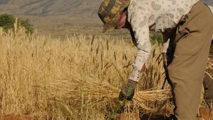 Irak sınırında, 37 derece sıcaklıkta buğday hasadı