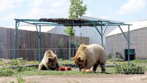 Sıcaktan bunalan ayılara, meyve kokteylli serinlik