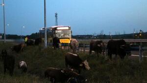 Kurbanlık taşıyan TIR bariyere çarptı, hayvanlar yola savruldu