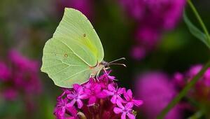 Burdurda yeni bir kelebek türü bulundu