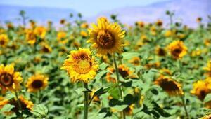 Malatyadaki ayçiçeği tarlalarında görsel şölen