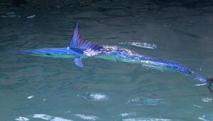 Mavi yelken balığı Antalyada görüntülendi