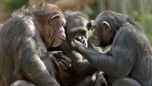 Birlikte video izleyen şempanzelerin aralarındaki bağ güçleniyor