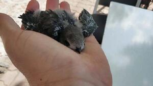 Yavru ebabil kuşu, 1 ay sonra yeniden uçtu